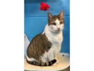 Adopt Tom a Gray or Blue Domestic Shorthair / Domestic Shorthair / Mixed cat in