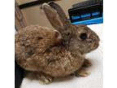 Adopt Henry a Rex / Mixed rabbit in San Diego, CA (25681562)