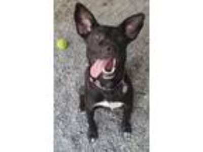 Adopt Sophia a Black - with White Feist / Mixed dog in Bryson City