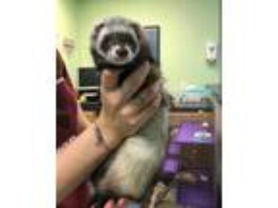 Adopt Layla a White Ferret / Ferret / Mixed small animal in Queenstown