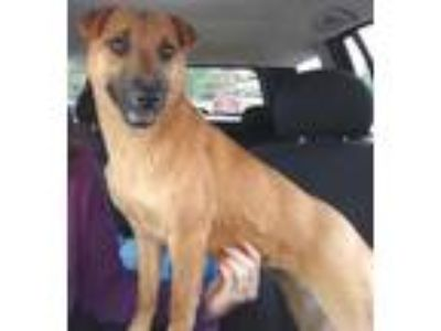 Adopt Ivy a Red/Golden/Orange/Chestnut Labrador Retriever / Mixed dog in