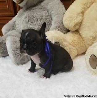 Free adoption babies French Bulldog Puppies