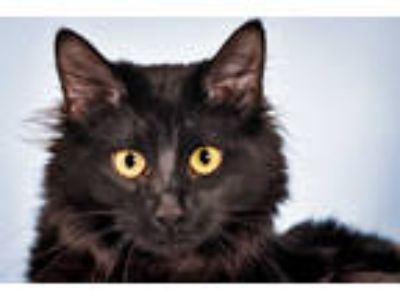 Adopt SYLVESTER a All Black Domestic Longhair / Mixed (long coat) cat in