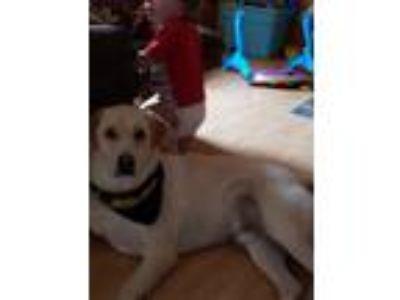 Adopt Rebel a Tan/Yellow/Fawn - with White Labrador Retriever / Mixed dog in