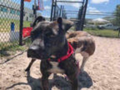 Adopt FERGIE a Brindle - with White American Staffordshire Terrier / Mixed dog