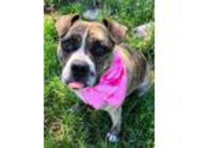 Adopt Bella a Boxer, Pit Bull Terrier