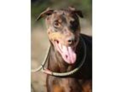 Adopt Gurlee a Brown/Chocolate - with Tan Doberman Pinscher / Mixed dog in