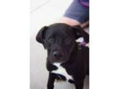 Adopt Reverend a Labrador Retriever