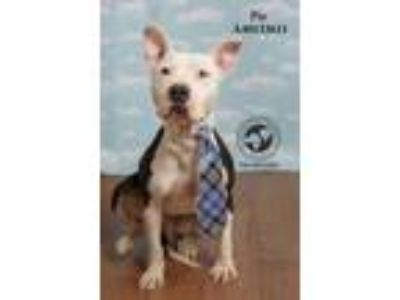 Adopt Pie (In a Foster Home) a White - with Black American Staffordshire Terrier