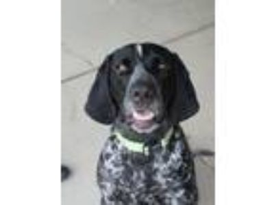 Adopt Scout a German Shorthaired Pointer, Bluetick Coonhound