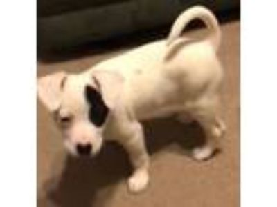 Adopt Penney a White - with Black Labrador Retriever / Terrier (Unknown Type