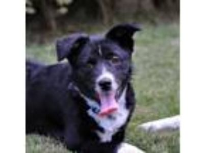 Adopt Yasha a Black - with White Border Collie / Mixed dog in New York