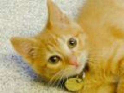 Adopt CARLITO a Orange or Red Tabby Domestic Shorthair / Mixed (short coat) cat