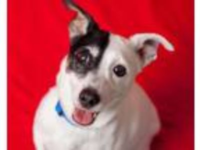 Adopt SHORTY a Parson Russell Terrier, Mixed Breed