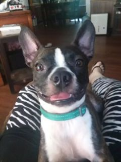 Boston Terrier DOG FOR ADOPTION ADN-96486 - 3 Yr Old Neutered Male Needs Forever Home