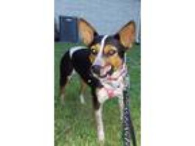 Adopt Piper H a Black - with Tan, Yellow or Fawn Australian Cattle Dog / Mixed