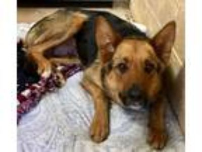Adopt Kia a German Shepherd Dog