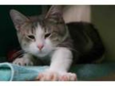 Adopt GRAYSON a Gray, Blue or Silver Tabby Domestic Shorthair / Mixed (short