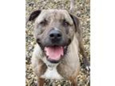 Adopt Oscar a Brindle Labrador Retriever / American Pit Bull Terrier / Mixed dog
