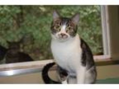 Adopt Precious a Gray, Blue or Silver Tabby Domestic Shorthair (short coat) cat