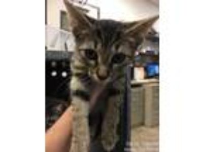 Adopt Imelda a Brown or Chocolate Domestic Shorthair / Domestic Shorthair /
