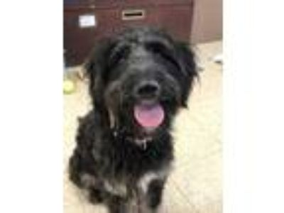 Adopt Curtis a Black Schnauzer (Standard) / Poodle (Standard) / Mixed dog in