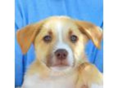 Adopt Benedict a White - with Tan, Yellow or Fawn Australian Shepherd / Labrador