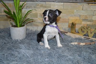 Jack Russell Terrier-Boston Terrier Mix PUPPY FOR SALE ADN-78898 - Adorable Female Boston Terrier Jack Russell Mix