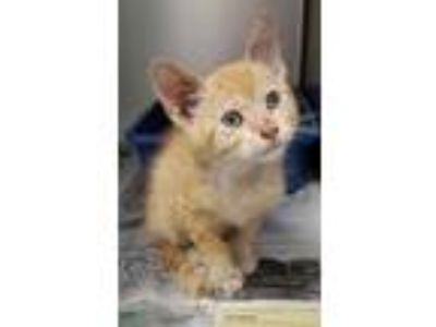 Adopt VINCE a Orange or Red Domestic Shorthair / Domestic Shorthair / Mixed cat