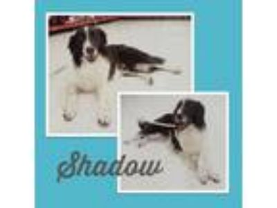 Adopt Shadow a Border Collie