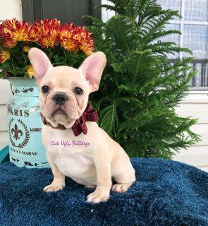 French Bulldog PUPPY FOR SALE ADN-105047 - Nina  French Bulldog