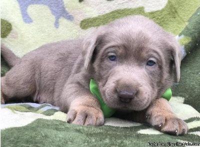 VTYU Adorable M/F AKC Labrador Retriever Puppies