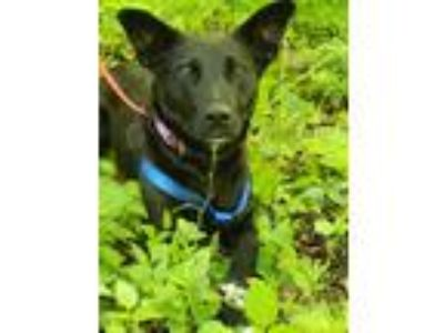 Adopt May a Black - with White Labrador Retriever / Border Collie / Mixed dog in