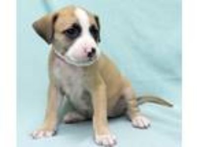 Adopt Glory a Tan/Yellow/Fawn - with White Labrador Retriever / Pointer / Mixed