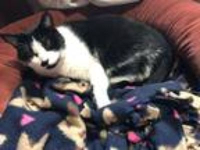Adopt Marvin a Black & White or Tuxedo Domestic Shorthair cat in Puyallup