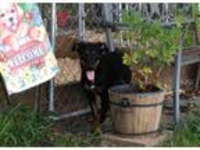 Adopt Cola a Tricolor (Tan/Brown & Black & White) Doberman Pinscher / Labrador