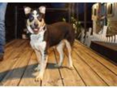 Adopt BOBO a Australian Cattle Dog / Blue Heeler