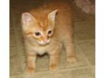 Adopt Barsik (baby boy) a Orange or Red Tabby Domestic Shorthair / Mixed (short