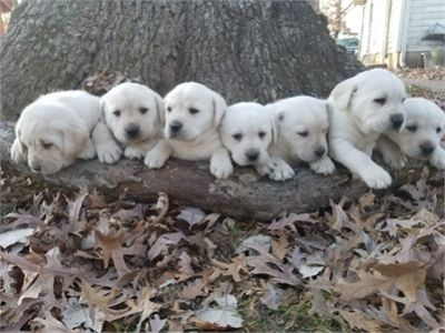 Christmas Yellow Lab Puppies - Males & Females