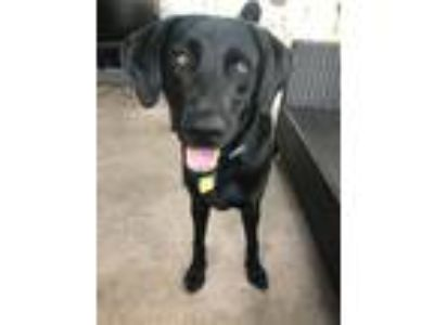 Adopt Duke a Black Labrador Retriever dog in Fort Lauderdale, FL (24859150)