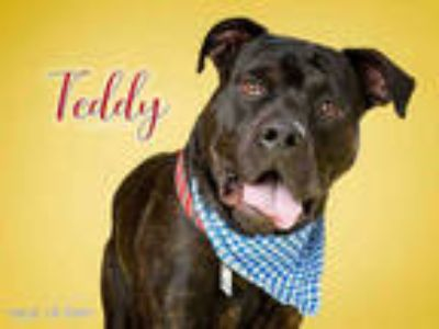 Adopt *TEDDY a Black Rottweiler / Labrador Retriever / Mixed dog in Upper