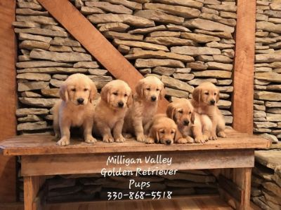 Golden Retriever PUPPY FOR SALE ADN-95246 - Golden Retriever Puppies AKC