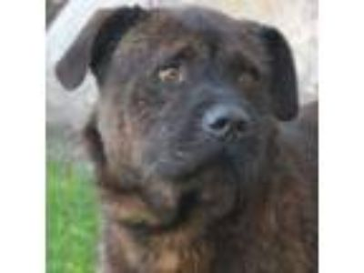 Adopt Deuce a Mastiff, Wirehaired Pointing Griffon