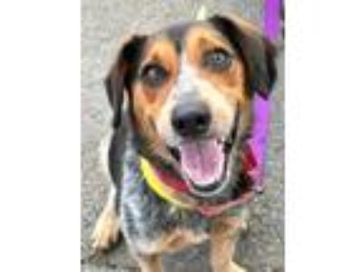 Adopt Blue *Adopt or Foster* a Beagle, Jack Russell Terrier