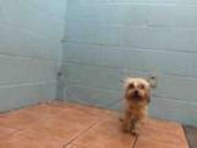 Adopt APPLE PEACHES a Shih Tzu