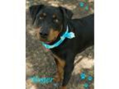 Adopt Roger a Black - with Brown, Red, Golden, Orange or Chestnut Doberman