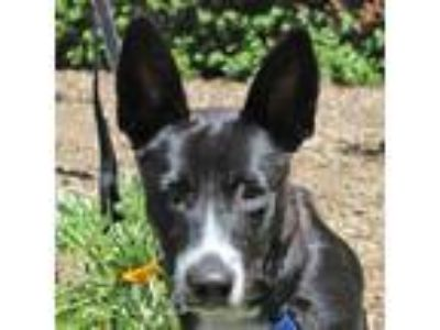 Adopt Tugboat a Black - with White Cattle Dog / Corgi / Mixed dog in Walnut