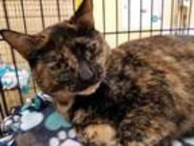 Adopt Kitty Grace a Domestic Short Hair