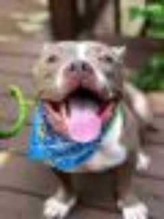 Flea American Staffordshire Terrier - Pit Bull Terrier Dog