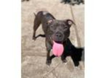 Adopt Bree a Black American Pit Bull Terrier / Mixed dog in Lynnwood
